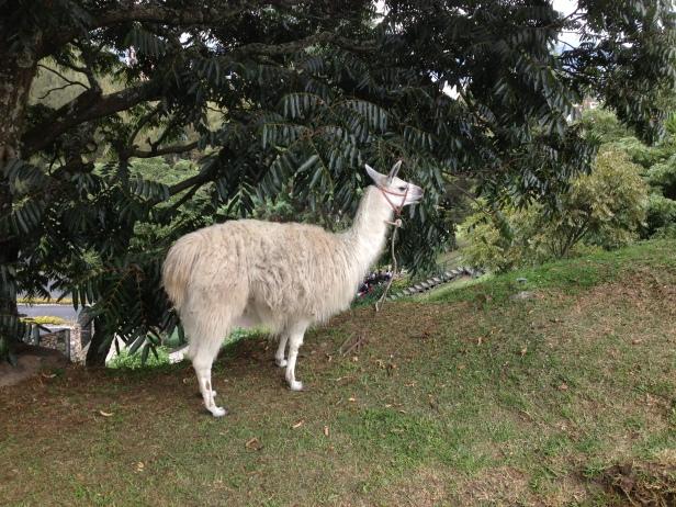 Llama pastando em um parque em Cuenca, Equador. Assim pertinho e se ligar para quem passava por ali...