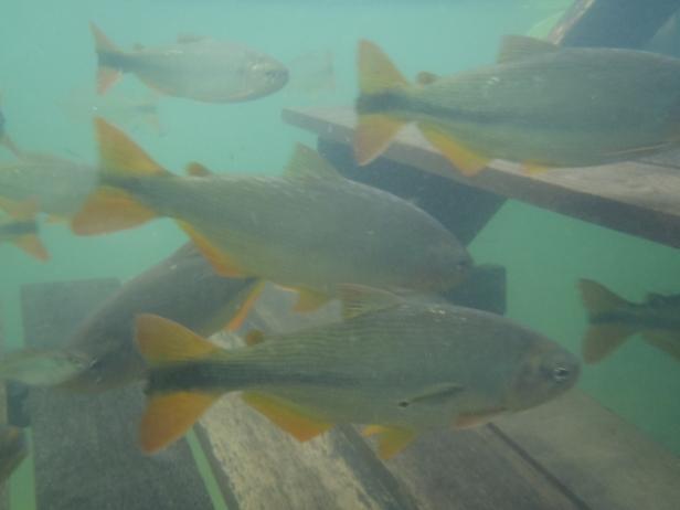 Peixes no Rio Formoso. Assim de transparente.