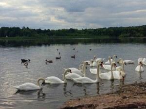 Todos os cisnes da Inglaterra pertencem à rainha